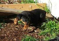purebred rottweilers in time for christmas