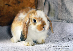 Adorable TRI COLOR Holland Lop Male