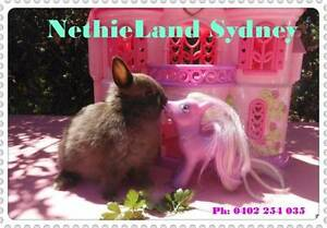 "❤  ""Genuine""- Purebred Baby Netherland Dwarfs (Chocolates) ❤ Roseville Ku-ring-gai Area Preview"