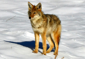 Chasse au coyote