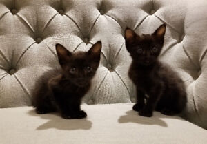 Exotic F4 Savannah Kittens - one melanistic remaining!!!!