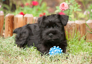 Looking for a  miniature schnauzer pup
