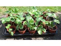 Strawberry Plants 9cm Pots at £0.50 each