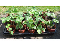 Strawberry Plants in 9cm pots 120 available 50p each