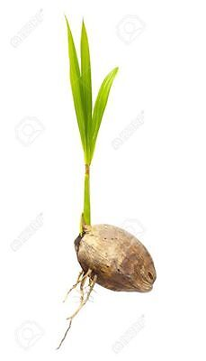 Coconut Palm Live Sprouted Florida Tropic Roots Plant In Or Out Grows Fast 12