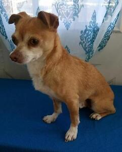 "Adult Male Dog - Chihuahua: ""Mojo"""