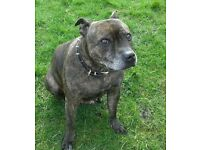 Missing brindle staffy