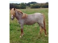 Welsh section a filly