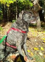 Adult Female  - Akbash-Neapolitan Mastiff