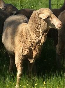 15 young Merino ewes Bunglegumbie Dubbo Area Preview