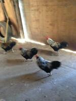 ameraucana chickens for sale