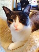 """Young Female Cat - Domestic Short Hair - gray and white: """"Tris"""""""