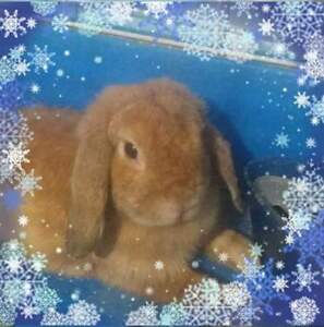 Baby holland lop bunnies pure bred