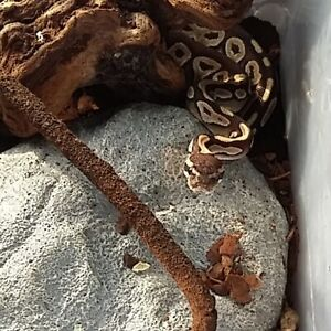 Ball python and crested gecko for sale