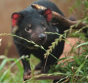 Kobys Save the tassie devil fund raffle Raworth Maitland Area Preview