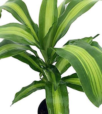 Dracaena Creme & Green Corn Live Plant 6