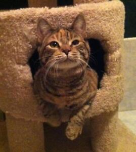 "Adult Female Cat - Tortoiseshell: ""Korla"""