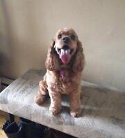 "Adult Female Dog - Cocker Spaniel: ""Molly"""