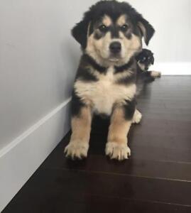"Baby Female Dog - Alaskan Malamute-Mixed Breed: ""Bennie"""