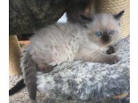 Lovely Ragdoll X Persain Pidgree kittens for Loving home