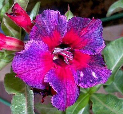 Adenium Obesum Desert Rose - CX Kaleidoscope - Perennial Bonsai Seeds -