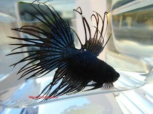 Black Orchid Crowntail Betta Fish (Males & Females) Cornwall Ontario image 3