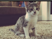 Grey & white kitten 5 months old looking for a forever home please :)