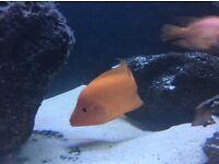 Midas cichlid fish