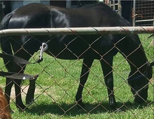 13.3hh Quiet Project Pony $350 Neg Toowoomba Toowoomba City Preview