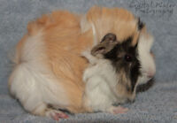 Baby female Long haired Guinea pig