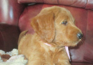 $975   BEAUTIFUL APRICOT GOLDENDOODLES PUPPIES    $975
