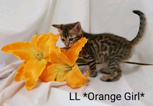 ~READY TO GO~ Bengal Kittens