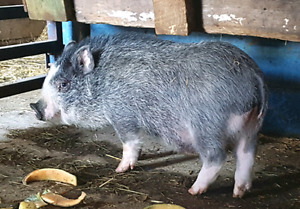 Potbelly boar for stud
