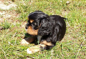 Cavalier Puppies make Great Family and Therapy dogs