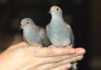 Diamond dove pair