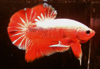 Bettas de collection Plakat Halfmoon et Overhalfmoon
