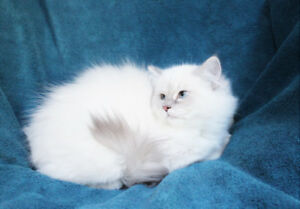 Super Fluffy Lilac Point Ragdoll Kittens