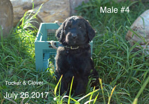 Reduced Goldendoodle Puppies
