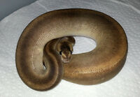 FS - Ball Python Morphs and 2 Incubators