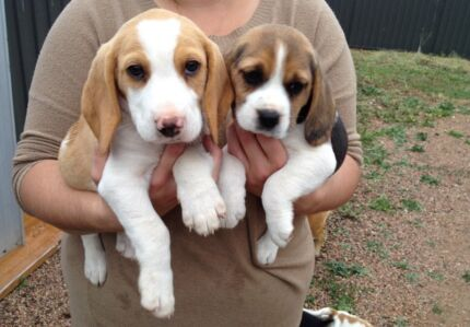 Pure breed beagle puppies Hoppers Crossing Wyndham Area Preview