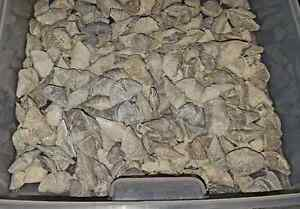 Fossil Brachiopods from Hungry Hollow London Ontario image 1