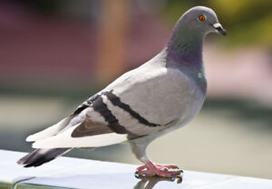 Permission Chasse pigeon (ferme/terrain)