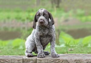 Looking for a German Shorthaired Pointer puppy
