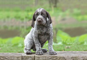 Looking for a German Shorthaired puppy