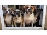 American Bully Puppies top pedigree ABKC registered