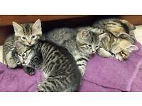 Tabby Kitten's for sale, 2 female's left out of 5