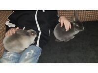 2 lovely grey/blue female rabbits