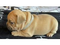Last two boys French bulldogs KC REGISTERED Lilac Fawn chocolate Fawn