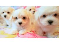 *** SMALL TYPE MALTESE *** for sale
