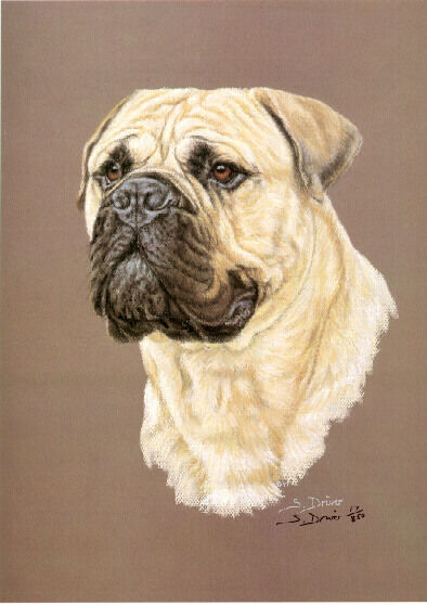 Bull Mastiff Limited Edition Art Print Head Study by UK Artist Sue Driver*